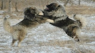 getlinkyoutube.com-Caucasian Shepherd Dog vs Wolf (Documentary in HD!!!)