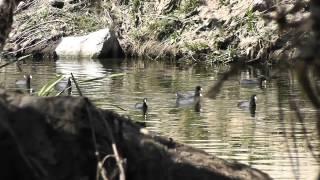 getlinkyoutube.com-.22 Benjamin Trail NP Duck Hunting