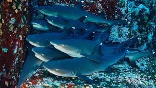 getlinkyoutube.com-Buceando en Islas del Socorro (archipiélago de Revillagigedo)