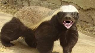 getlinkyoutube.com-Honey Badgers: The Crazy Truth