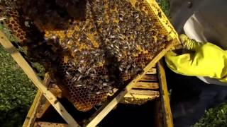 getlinkyoutube.com-Пчеловодство! Деление семьи для закладки маточников!