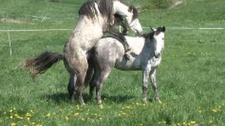 getlinkyoutube.com-Decksprung ~ natur mating, at * The Wild Horse Place