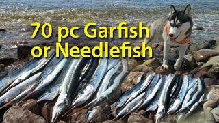 "getlinkyoutube.com-""Raiders of the perfect fishing"" the beautiful northern Öland. Siberian Husky garfish  needlefish"