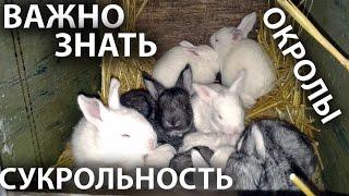 Сукрольность  / беременность крольчихи и успешные роды / окролы кроликов.