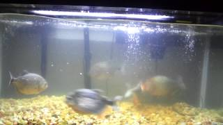 Piranhas eat mouse