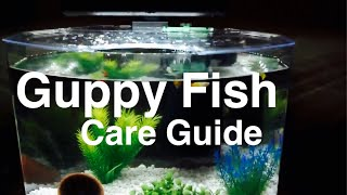 getlinkyoutube.com-Guppy Fish Facts & Caring for Guppies