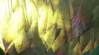 getlinkyoutube.com-Himalayan Monal Pheasant called Romeo