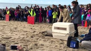 getlinkyoutube.com-Dill the harp seal gets released by Mystic Aquarium at Blue Shutters in Charlestown