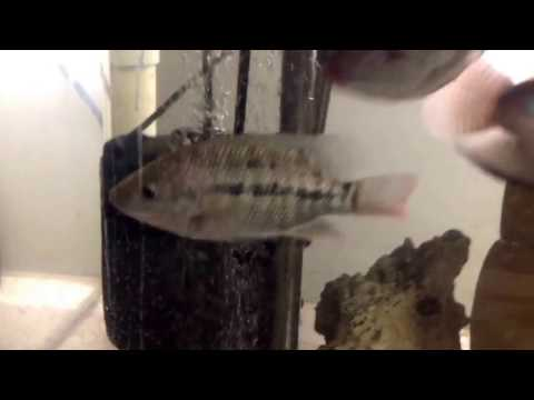 (1/7/2017) - Tilapia Hatch - Day 5