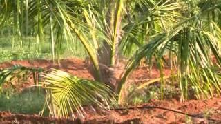 getlinkyoutube.com-Coconut Cultivation
