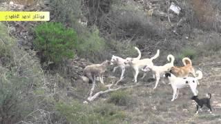 getlinkyoutube.com-مجموعة كلاب على ذئب واحد