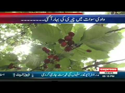 Cherry Fruit in Swat Valley Pakistan Sherin Zada Express News Swat