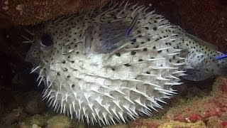 getlinkyoutube.com-Pufferfishes, Boxfishes & Porcupinefishes - Reef Life of the Andaman - Part 11
