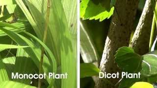getlinkyoutube.com-Monocot and Dicot Plants - OLabs
