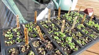 getlinkyoutube.com-Fall Gardening: Planting a Pop Up Greenhouse: Seeds and Transplants 2 of 6 - TRG 2014