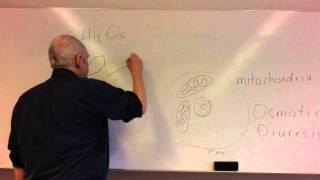 Glucose homeostasis lesson 1, Glucose control and insulin