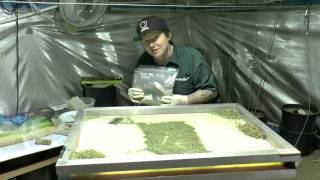 getlinkyoutube.com-40g Of Sugar Leaf,  Let's Decontaminate It ..