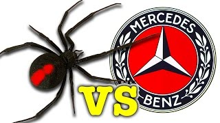 getlinkyoutube.com-Scary Redback Spider Vs Mercedes Benz You Won't Believe What I Caught!