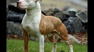 getlinkyoutube.com-كل حاجة عايز تعرفها عن كلب البيتبول شرح بالعربي AMERICAN PITBULL !!
