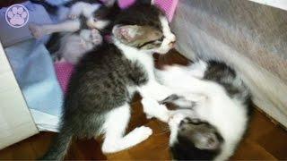 getlinkyoutube.com-子猫4匹の大ケンカで鳴く子猫「生後32日目」子猫がかわいい仔猫を産みました!