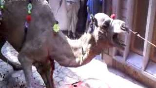 getlinkyoutube.com-waqas camel qurbani in gujranwala 2010