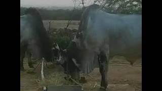 getlinkyoutube.com-Ongole bulls
