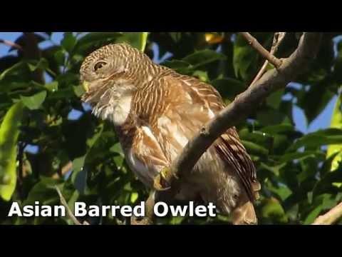 Asian Barred Owlet (calling) - Birdwatching Thailand