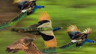 getlinkyoutube.com-Mass Flying Giant Peacocks (Peafowls)