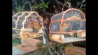 getlinkyoutube.com-canarios criollo de Bosa recreo (Bogota Colombia)