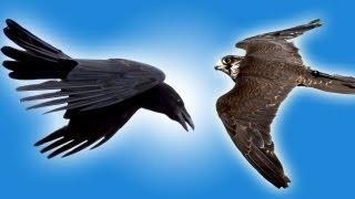 getlinkyoutube.com-Falcon vs Raven in Slow Motion - Slo Mo #25 - Earth Unplugged