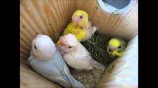 getlinkyoutube.com-Crescimento de crias de periquitos