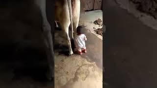 Indian Little boy || drinking milk|| breast feeding || directly from cow width=