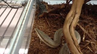 getlinkyoutube.com-バートンヒレアシトカゲの捕食シーン