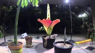getlinkyoutube.com-Time-lapse video: Amorphophallus titanum 2014 bloom