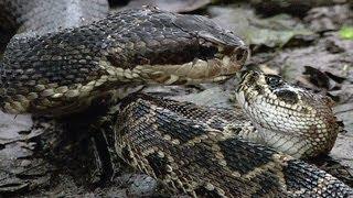 getlinkyoutube.com-Cottonmouth vs Rattlesnake 05 - Cottonmouth Kills & Eats Rattlesnake