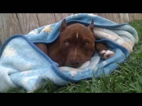 Pitbull Ear cropping