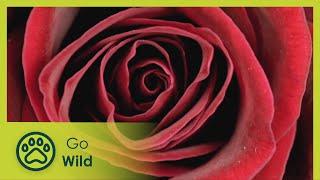 getlinkyoutube.com-Rose - Queen of Flowers - The Secrets of Nature