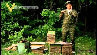 getlinkyoutube.com-Как поймать пчёл, ловля роёв