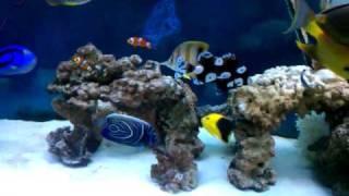getlinkyoutube.com-saltwater fish tank - angelfish, trigger, tangs