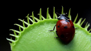 getlinkyoutube.com-Venus Flytrap eats Ladybug (Animals have emotions)