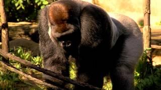 getlinkyoutube.com-50th Gorilla Baby Born at Cincinnati Zoo makes Public Debut