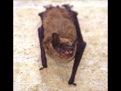 Bat Echolocation Recording- Ultrasound