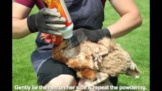 getlinkyoutube.com-HOW TO TREAT LICE & MITES IN POULTRY
