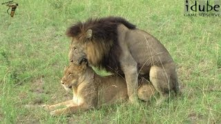 getlinkyoutube.com-Sex In The Wild: Lions: Foreplay and Mating In High Definition!