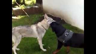 getlinkyoutube.com-Rottweiler vs. Wolf