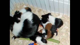 getlinkyoutube.com-Hazel the Guinea Pig gives Birth to 8 Babies