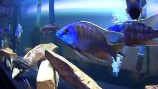 getlinkyoutube.com-100 Gallon African Cichlid Aquarium: Showcase + Species List