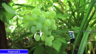 getlinkyoutube.com-Разновидности сортов винограда на 26. 07. 2015