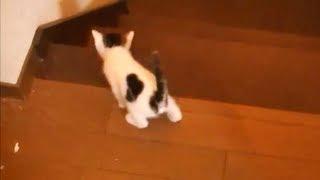 getlinkyoutube.com-子猫 転げ落ちる A kitten fell down in stairs