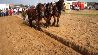 Ploegen met 3 span Belgisch trekpaard